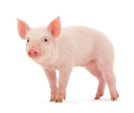 طالع بینی متولدین سال خوک