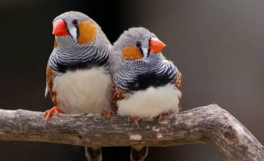 آشنایی با پرنده جذاب فنچ