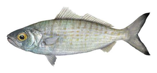 چرا ماهی بوی تند و زننده ای دارد؟