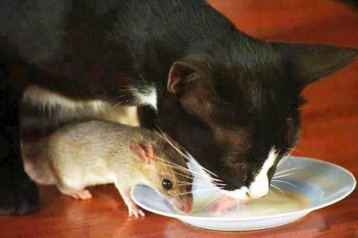 ضرب المثل گربه و موش با هم ساختند، وای به حال بقال